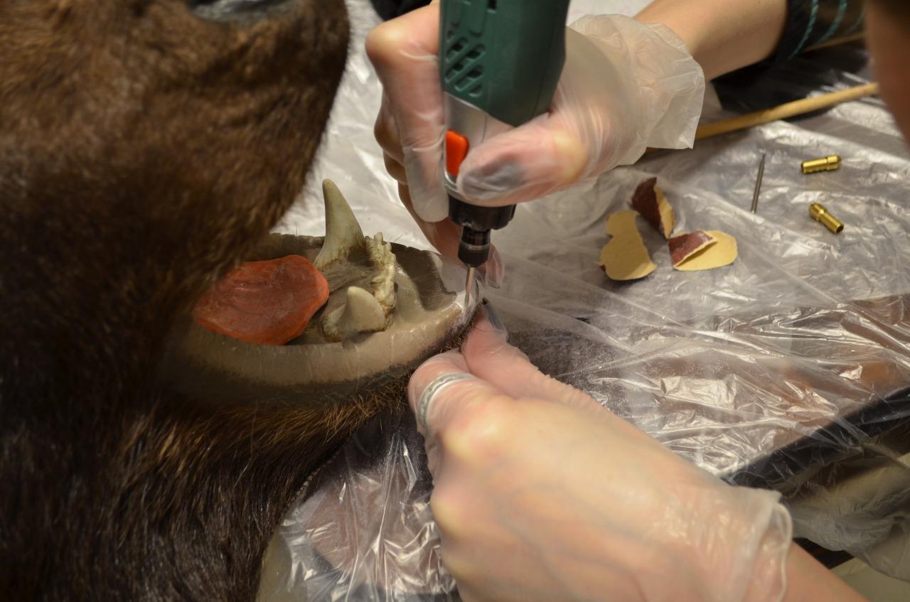 Экспресс реставрация предмета интерьера - чучело медведя